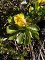 Ranunculus eschscholtzii 21680.JPG