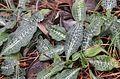 Rattlesnake plantain goodyera oblongifolia (18277412440).jpg