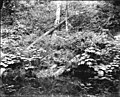 Ravenna Park woods, June 14, 1895 (SEATTLE 4595).jpg