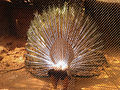 Rear view of caged peafowl at IGZoo park in Vizag.jpg