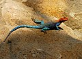 Red-headed rock agama 1.jpg