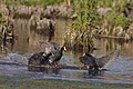 Red-knobbed Coot (or Crested Coot), Fulica cristata, doing thier usual chasing of one another at Marievale Nature Reserve, Gauteng, South Africa. (45176883162).jpg