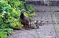 Red-legged partridge with chicks - geograph.org.uk - 1035392.jpg
