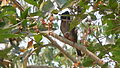 Red-vented Bulbul (Pycnonotus cafer) spotted at Visakhapatnam 02.JPG