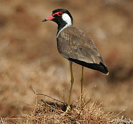 Red-wattled Lapwing (Vanellus indicus) W IMG 1078