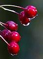 Red Berries (6302151433).jpg