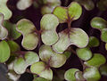 Red Cabbage Microgreens.jpg