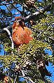 Red Crossbill (8204949682).jpg