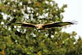 Red Kite - Gigrin Farm (10358869886).jpg
