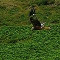 Red Kite in Cwm Doethie Fawr, Ceredigion - geograph.org.uk - 1422134.jpg