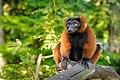 Red Ruffed Lemur (50349722908).jpg