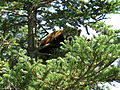 Red panda in Chausuyama Zoo 02.jpg