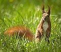 Red squirrel (51139000522).jpg