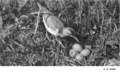 Reed-spotted-sandpiper-nest.png