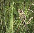 Reed bunting (31409360431).jpg