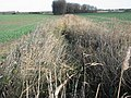 Reed filled ditch - geograph.org.uk - 629238.jpg