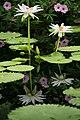 Reflections of Waterlilies (14259611018).jpg