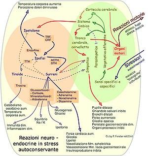 Grafica: Medicina: Stress: Reazioni neuro - en...
