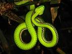 Reptile Medo Pit Viper Viridovipera medoensis IMG 4231 25.jpg