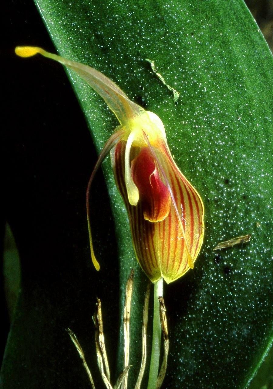 Restrepia flosculata Orchi 02