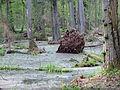 Rezerwat ścisły w Puszczy Białowieskiej 4 (Nemo5576).jpg