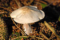 Rhodocollybia.butyracea3.-.lindsey.jpg
