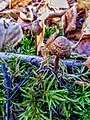 Rhodocollybia butyracea 99010799.jpg