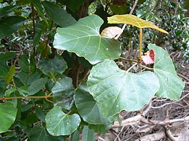 Rhoicissus tomentosa capensis creeper - Cape Town 1.JPG
