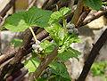 Ribes nigrum (knospend).jpg