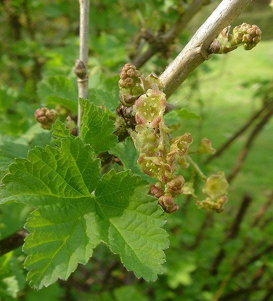 File:Ribes rubrum B.jpg