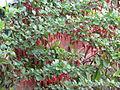 Ribes speciosum (13620869044).jpg