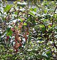 Ribes x gordonianum - Flickr - peganum (1).jpg