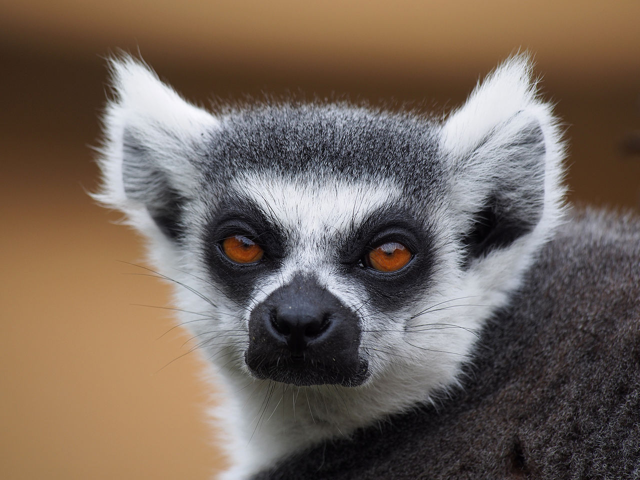 Ring-tailed lemur (source: Wikipedia)