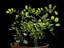 Robinia pseudoacacia20170523 7772.jpg