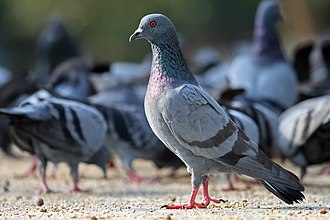 Feral pigeon - Feeding in a park