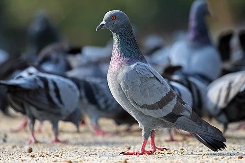 500px rock pigeon columba livia