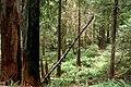 Rogue River-Siskiyou National Forest, Port Orford Cedar stand (36714157750).jpg