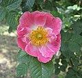 Rosa 'Flora McIvor'.jpg
