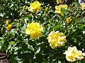 Rosa 'Golden Holstein' Kordes RPO.jpg