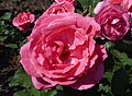 Rosa 'Hortiflora' J1.jpg
