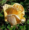 Rosa Golden Ophelia 1.jpg