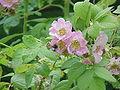 Rosa macrophylla0.jpg