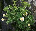Rosa multiflora in Mount Ibuki 2011-06-26.jpg