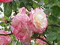 Rosa sp.136.jpg