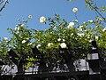Rosabanksiae-albaplena.jpg