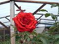 Rosavermelha1.jpg