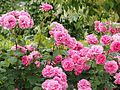 Rose, Charmian, バラ, チャーミヤン, (15680486930).jpg