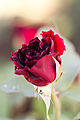 Rose, Kuro-Shinjyu - Flickr - nekonomania.jpg