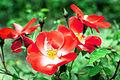 Rose Chuckles バラ チャックルス (6388360243).jpg