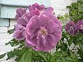 Rose gerberoy.JPG